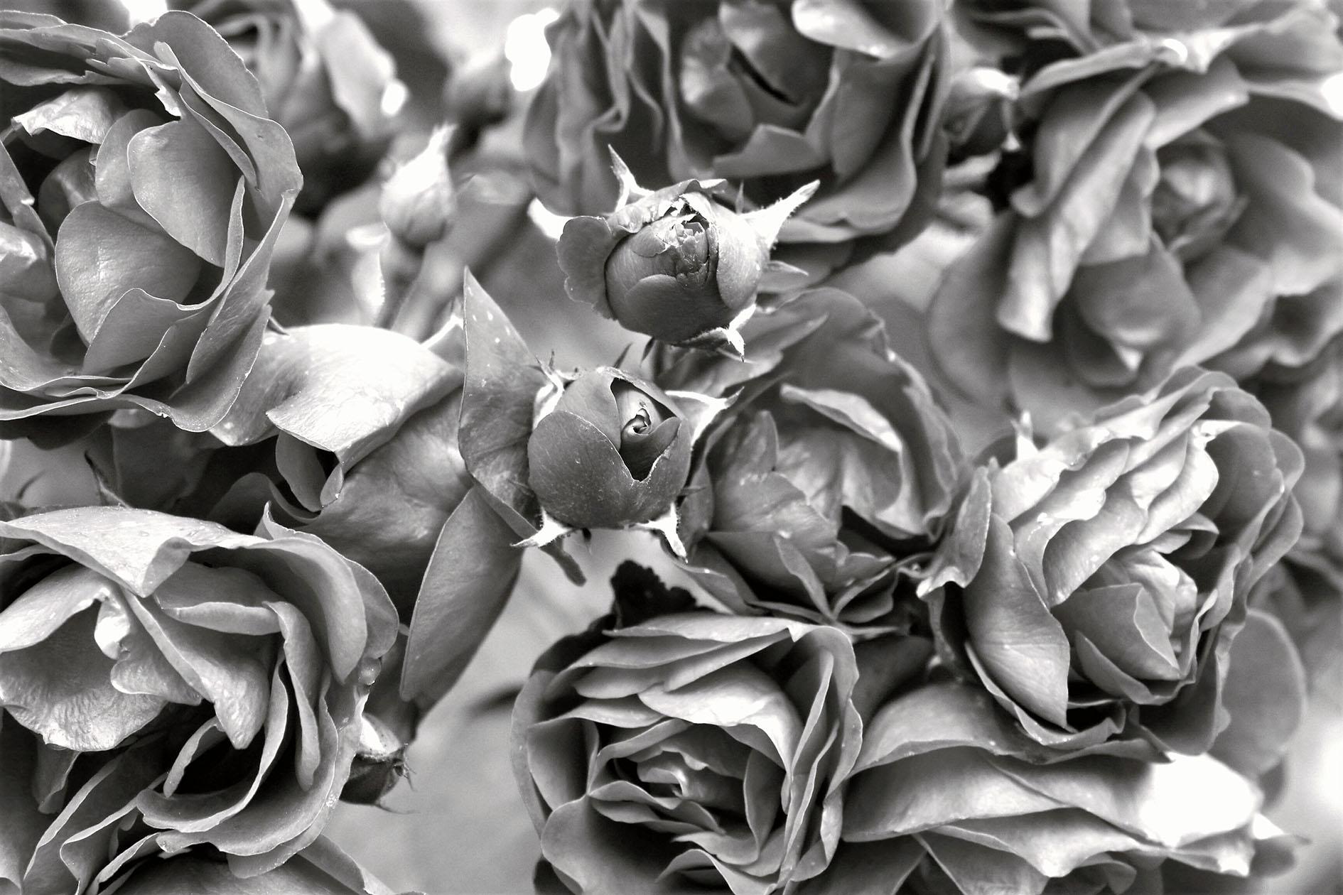 Elecciones: entre la rosa y el espino